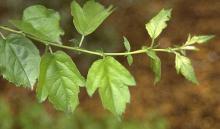 leaves on a vigorous shoot