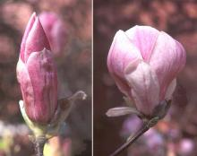 flower, before and at opening
