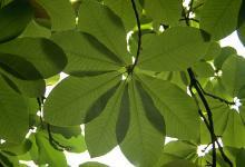 """""""umbrella"""" of leaves"""