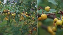 ripening fruit, late summer