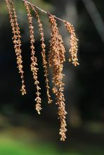 male (pollen) catkins, early spring