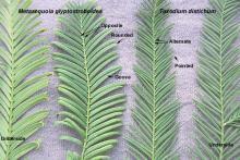 brachlets, comparison