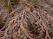 branchlets, winter