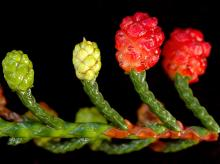 developing and mature cones