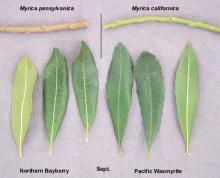 leaves and stem, comparison