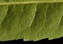 leaf underside with glands