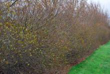 plant habit, hedge, early spring