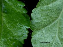 leaf surfaces and margin