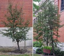 plant habit, young and older tree