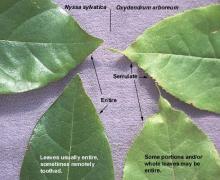 leaf margin, comparison