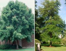 plant habit, older trees