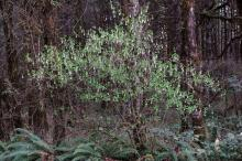 in habitat, early spring flowering