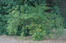 plant habit, mid-summer