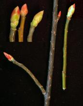 winter twigs and buds