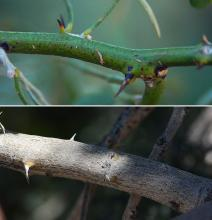 twig and branch with thorns