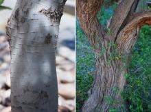 young and old trunks, bark