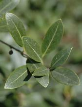 leaves, adult