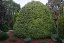 plant habit, large sheared plant