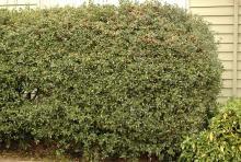 plant habit, hedge