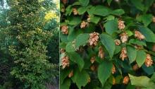 plant habit, foliage, and fruit