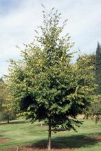 plant habit, young tree