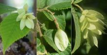 developing fruit clusters