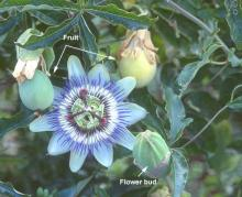 bud, flower, and fruit