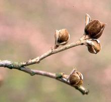opening flower buds, winter