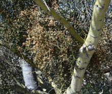 plant with desert mistletoe, a hemi-parasitic plant