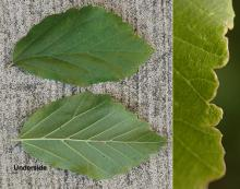leaf and margin