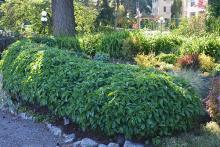 plant habit, as a hedge