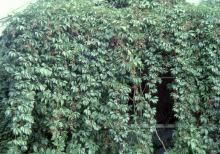 plant habit, on a wall