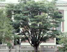 plant habit, older tree