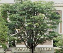 plant habit, older tree