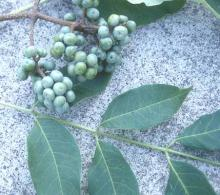 immature fruit and leaflets