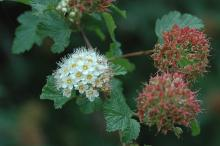 flower and fruit cluster