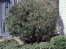 plant habit, sheared, fruiting