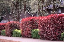 plant habit, sheared, spring
