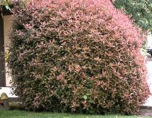plant habit (pruned), spring