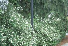 landscape plant habit, flowering