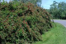 plant habit, flowering and fruiting