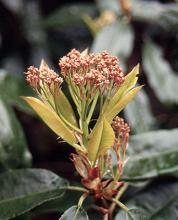 new leaves and emerging flower cluster