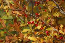 fruiting branches, fall