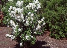 plant habit, flowering in early summer