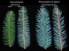 branchlet comparison with Colorado Blue Spruce