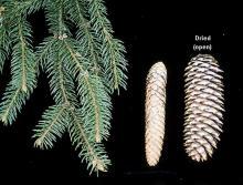 immature and mature cones