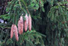 mature cones, winter