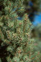 branchlets, needles