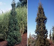 plant habit, younger plants