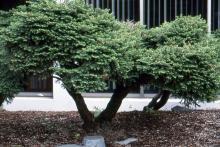 plant habit, older plant